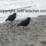 Jeff Fleischer photo of oystercatchers